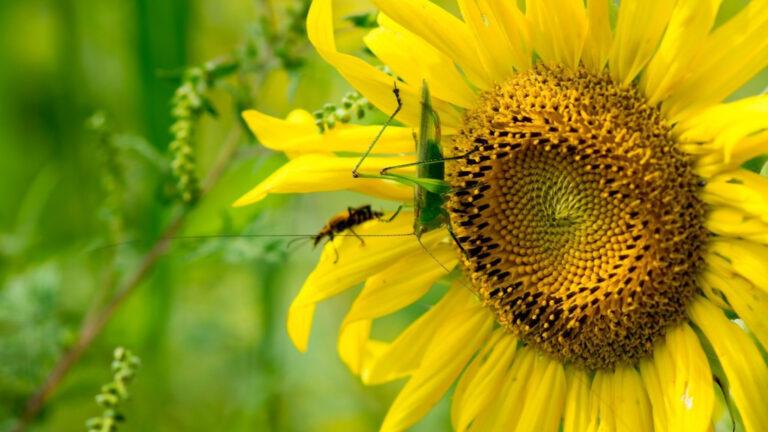Katydid on a sunflower
